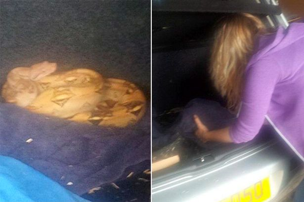 Used Car Buyer Surprised To Find Vehicle Comes With A Free Boa Constrictor In The Trunk